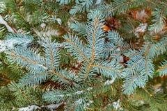 Fundo do Natal com neve na refeição matinal verde do pinheiro foto de stock royalty free