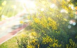 Fundo do ouro dos plenos verões com o arbusto amarelo das flores, raios do sol e bokeh Imagem de Stock Royalty Free