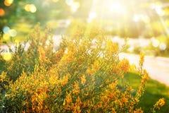 Fundo do ouro dos plenos verões com o arbusto amarelo das flores, raios do sol e bokeh Fotografia de Stock