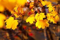 Fundo do ouro e das folhas de outono vermelhas Foto de Stock Royalty Free