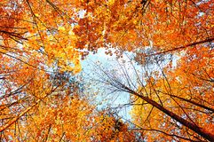 Fundo do outono Árvores do outono que estendem o céu Floresta do outono Foto de Stock