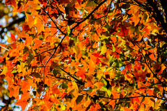 Fundo do outono com a árvore de bordo alaranjada bonita e a luz solar Imagem de Stock