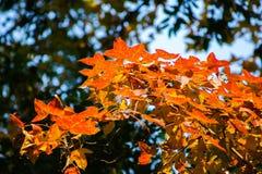 Fundo do outono com a árvore de bordo alaranjada bonita e a luz solar Fotos de Stock Royalty Free