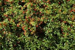 Fundo do outono com gaultheria vermelho Foto de Stock