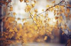 Fundo do outono com ramos do vidoeiro fotografia de stock royalty free