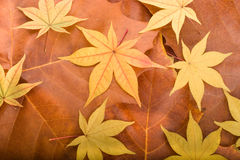 Fundo do outono das folhas de plátano Fotografia de Stock