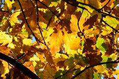 Fundo do outono das folhas do carvalho Fotos de Stock