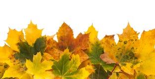 Fundo do outono, folhas de bordo amarelas Foto de Stock Royalty Free