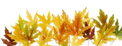 Fundo do outono, folhas de bordo amarelas Imagens de Stock Royalty Free