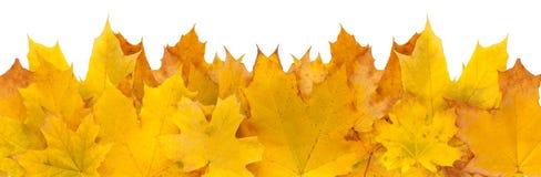 Fundo do outono, folhas de bordo amarelas Imagens de Stock