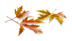 Fundo do outono, folhas de bordo amarelas Foto de Stock