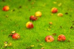 Fundo do outono, maçãs vermelhas na terra no jardim Imagem de Stock Royalty Free