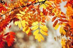 Fundo do outono - ramos de árvore coloridos da cinza da montanha na luz solar - Foto de Stock