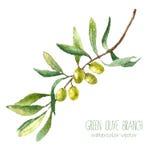 Fundo do ramo de oliveira da aquarela Fotos de Stock