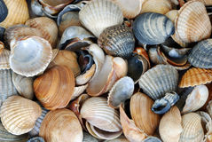 Fundo do Seashell Fotos de Stock Royalty Free