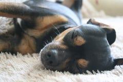Fundo do sono do amigo do cão de animais de estimação Imagem de Stock