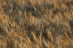 Fundo do sumário da grama do trigo do marrom amarelo do campo Fotos de Stock