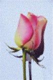 Fundo do sumário da rosa do rosa Fotos de Stock Royalty Free