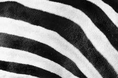 Fundo do teste padrão da zebra Fotografia de Stock Royalty Free