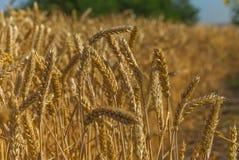 Fundo do trigo trigo maduro fotografia de stock royalty free