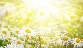 Fundo do verão As margaridas no prado são iluminadas pelos raios do sol Foto de Stock Royalty Free