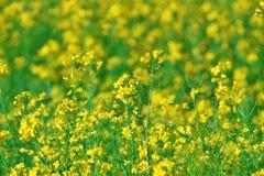Fundo do verão: canola de florescência Imagens de Stock Royalty Free