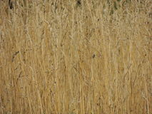 Fundo do verão da grama do amarelo da cena da natureza Imagem de Stock