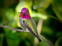 Fundo do verde do colibri de Annas Fotografia de Stock