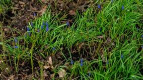 Fundo do verde da mola natural Grama da mola e jacinto pequeno do muscari que florescem em um prado verde no jardim, parque Fotografia de Stock