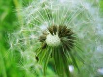 Fundo do verde da semente do dente-de-leão Fotografia de Stock