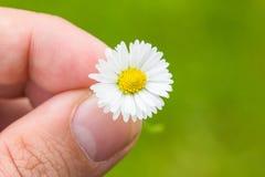 Fundo do verde de Daisy Between Fingers Macro With Fotos de Stock