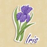 Fundo do vetor com uma flor Ilustração do desenho da mão de uma íris ilustração royalty free