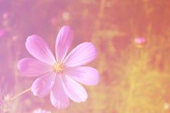 Fundo doce do tom da flor do cosmos, conceito brilhante foto de stock royalty free