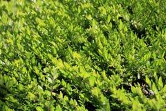 Fundo dos galhos verdes novos dos arbustos Foto de Stock