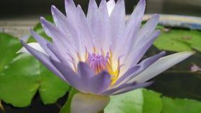 Fundo dos lótus da flor Imagens de Stock Royalty Free