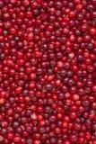 Fundo dos Lingonberries Fotos de Stock