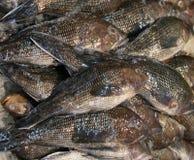 Fundo dos peixes frescos Imagens de Stock Royalty Free