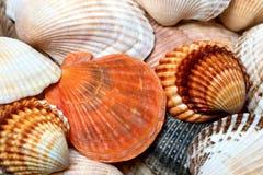 Fundo dos Seashells imagens de stock royalty free