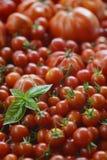 Fundo dos tomates com Basil Leaves Fotos de Stock Royalty Free