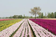 Fundo dos Tulips Imagem de Stock
