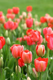 Fundo dos Tulips Imagem de Stock Royalty Free