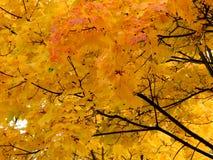 Fundo dourado do outono das folhas de bordo amarelas em um ramo Imagens de Stock