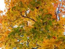 Fundo dourado do outono das folhas de bordo amarelas em um ramo Fotografia de Stock