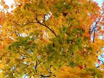 Fundo dourado do outono das folhas de bordo amarelas em um ramo Imagens de Stock Royalty Free