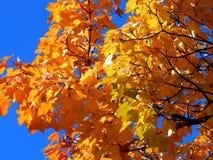 Fundo dourado do outono das folhas de bordo amarelas em um ramo Foto de Stock Royalty Free