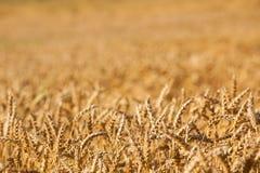 Fundo dourado do trigo da cor imagens de stock royalty free
