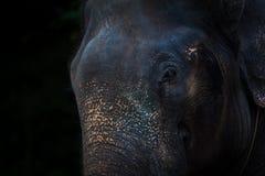 Fundo dramático da cara do elefante de Beautyful Fotos de Stock