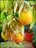 Fundo e papéis de parede do Passiflora em cópias de alta qualidade superiores foto de stock royalty free