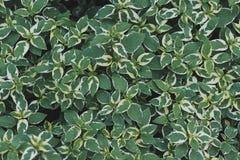 Fundo e textura verdes da folha fotografia de stock royalty free