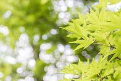 Fundo e textura verdes do sumário da folha de bordo Fotos de Stock